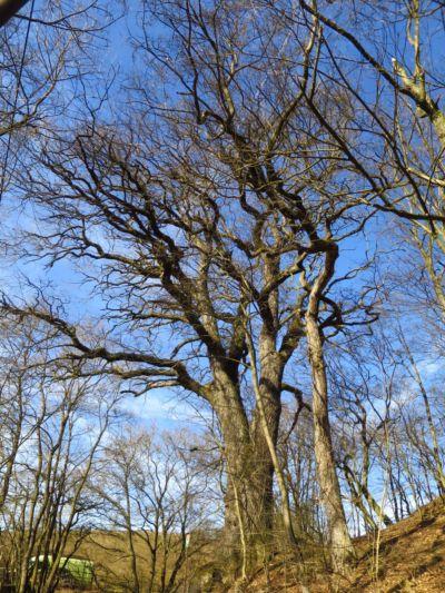 další památný strom