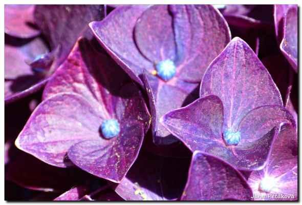 fialovou hortenzii jsem dostala k narozeninám, loňské mi pomrzly a asi nepokvetou