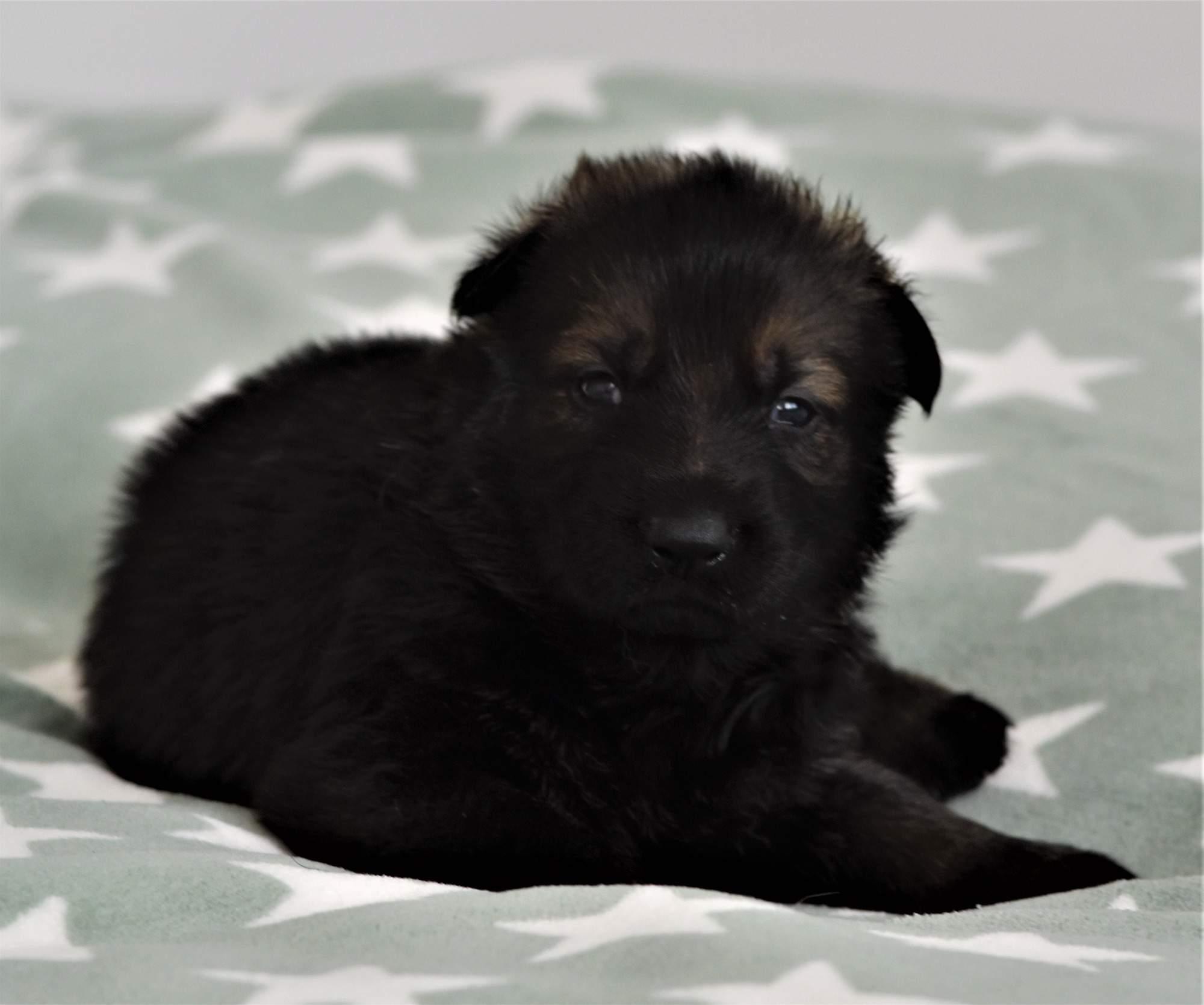 TOP Dark Sable German Shepherd Puppies in Czech petworldglobal.com
