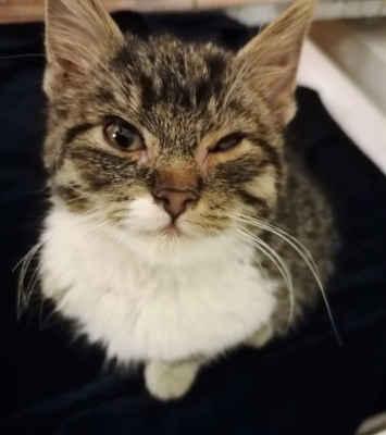 25.11.2020 - V Mutěnicích nalezeno vyhublé 2,5 měsíční kotě, kostičky by se daly počítat, průjem, svrab, začervené, očička zahnisané, zřejmě kaliciviroza, má i afty v tlamičce. Je to kočička, velmi mazlivá, vděčná.