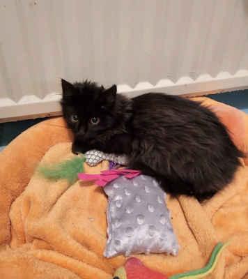 8.1.2021 - Sociálně slabá rodina se dostala do potíží a musela se vystěhovat z domku v Moravské Nové Vsi. Na zahradě domu by zůstala tři koťata, začervená s nafouklými bříšky, v uších svrab. Přijali jsme je k nám, černý kocourek dostal jméno Vendelín, tříbarevná kočička je Šmudlinka a bílomourovatá Sisinka.