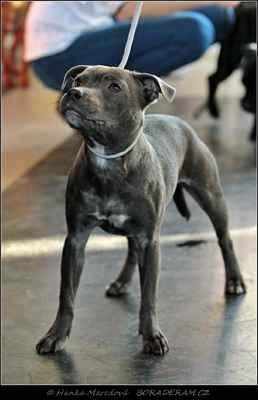 Brilliant Blue Nanny Dog (Tap Dancer at Ambassador Sun X Guccia Slade Czech) - Feny - dorost - N