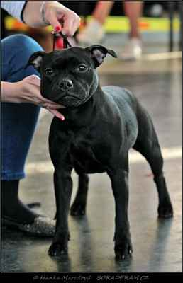 Every Day Is Yours Magicblack (Sikaistaff Dark Lord X J´Adore Magicblack of Bully Botts) - Feny - dorost - VN3