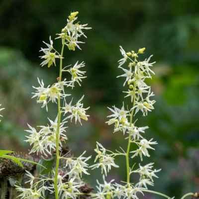 Ježatec laločnatý - Echinocystis lobata (F. Michx.) Torr. et A. Gray (štětinec laločnatý), čeľaď Cucurbitaceae (tekvicovité)
