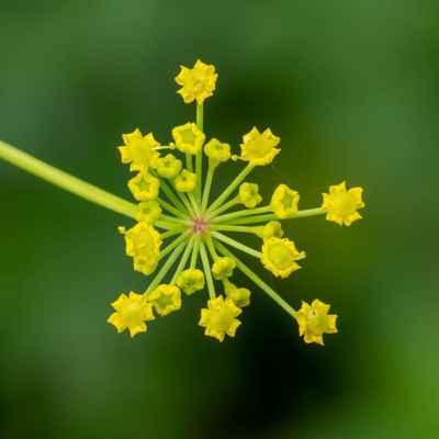 Paštrnák siaty - Pastinaca sativa L. (pastinák setý), čeľaď Apiaceae (mrkvovité)