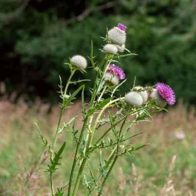 Pichliač bielohlavý - Cirsium eriophorum (L.) Scop. (pcháč bělohlavý), čeľaď Rosaceae (ružovité)