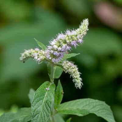 Mäta dlholistá - Mentha longifolia (L.) L. (máta dlouholistá), čeľaď Lamiaceae (hluchavkovité)