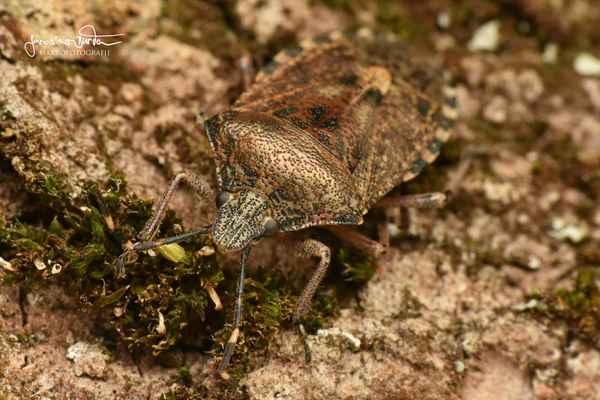 Kněžice mlhovitá (Rhaphigaster nebulosa)