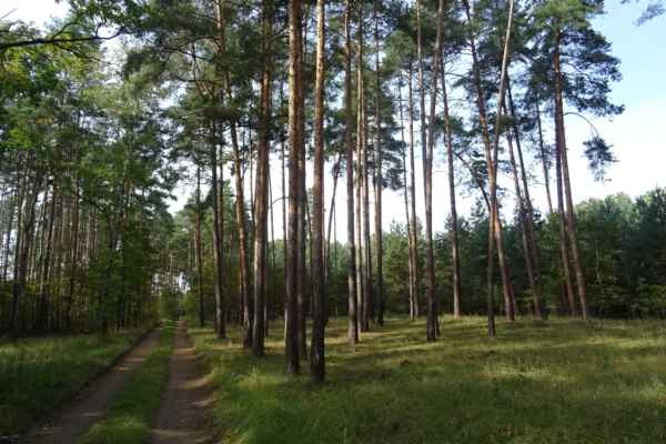 NPP Hodonínská doubrava - Je to sice doubrava, ale jinak jsou tady samé borovice.