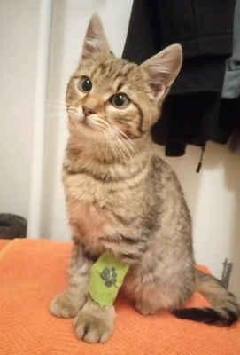 27.11.2020 - V zahrádkářské kolonii v Hodoníně, kde řešíme kastrace plachých koček (více zde) se objevilo velmi nemocné kotě. Bylo ošetřeno na veterině a protože není plaché, bylo umístěno do dočasné péče a bude se mu hledat domov. Je to kočička, dostala jméno Lily.
