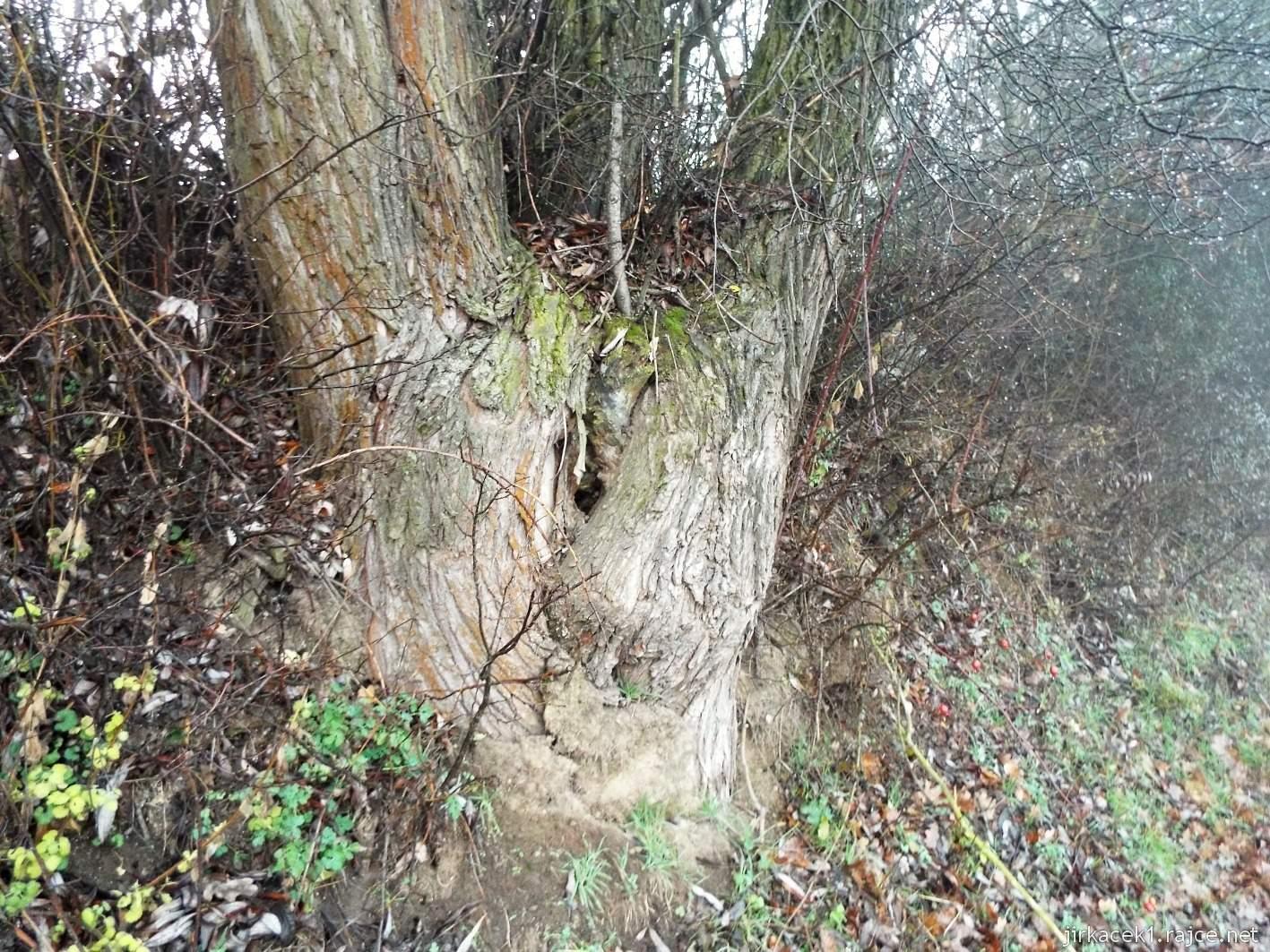095 - strom připomínající zadek před obcí Soběsuky
