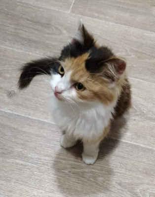 20.10.2020 - Kotě, 4 měsíční tříbarevná kočička s delší srstí nalezena v Rohatci, zůstala u nálezců a zkoušeli jsme přes FB najít majitele. Na to se ozvala majitelka s tím, že kotě měla její kočka na jejíž kastraci neměla peníze. Požádala nás, abychom kotěti našli domov, její kočku v rámci kastračního programu vykastrujeme.