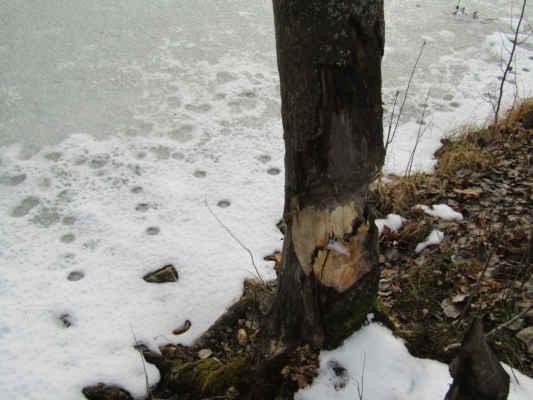 něco o bobrovi - Bobr evropský (Castor fiber) je až metr dlouhý, zavalitý hlodavec s hustou srstí a dlouhým plochým ocasem. Je zcela přizpůsoben životu ve vodě. Buduje soustavy kanálů a hrází. Jeho potravu tvoří kromě bylin i větvičky a lýko.Bobři jsou aktivní po celý rok bez zimního spánku. Nejvyšší věk je přibližně 35 let. Nejčastěji kácejí kmeny s průměrem 5–8 cm, ale poradí si i s kmenem 70 cm v průměru. Noční aktivita ztěžuje přímé pozorování. Na přítomnost bobrů v dané lokalitě lze usuzovat podle ohlodaných stromů, stop, kupovitých staveb z větví (bobřích hradů) a podle hrází.